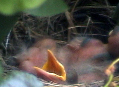 Baby Robins wanting food